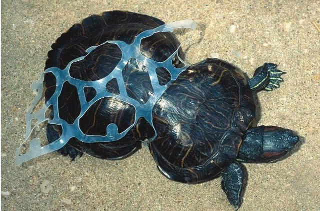 turtle6packBIG